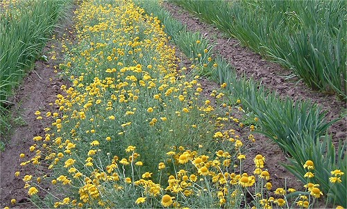 perennial field - golden marguerite